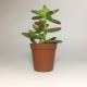 Suculenta Sedum Nussbaumerianum. Maceta de plástico redonda de 5,5cm diámetro y 5cm de alto