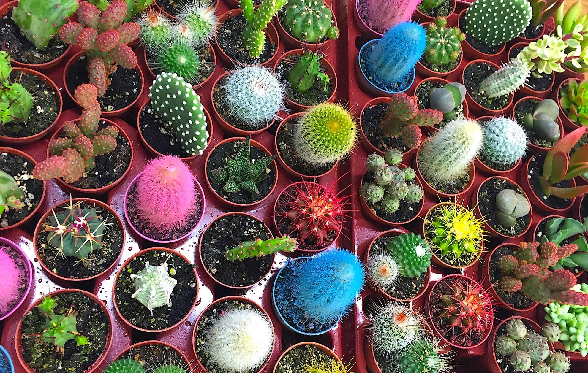 Decoración de Cactus, suculentas y crasas. Regalos familia y empresa. Restaurantes, Hoteles